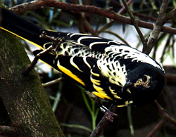 Regent Honeyeater (photo taken at Taronga Park Zoo)