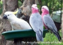Sulphur-crested Cockatoo and a pair of Galahs feed together on a seed tray