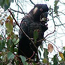White-tailed Black Cockatoo (Male)