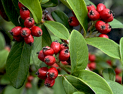 The ripe berries of the Cotoneaster