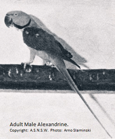 Adult Male Alexandrine