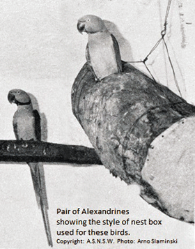 Pair of Alexandrines (showing the type of nest box used for these birds)