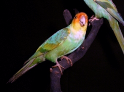 Mounted specimen of a Carolina Parrot