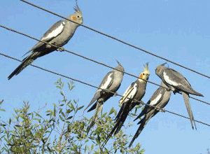 Cockatiels in the wild