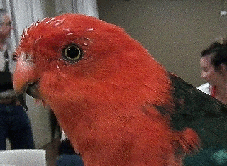 Cocky the talking King Parrot at our December 2013 meeting.