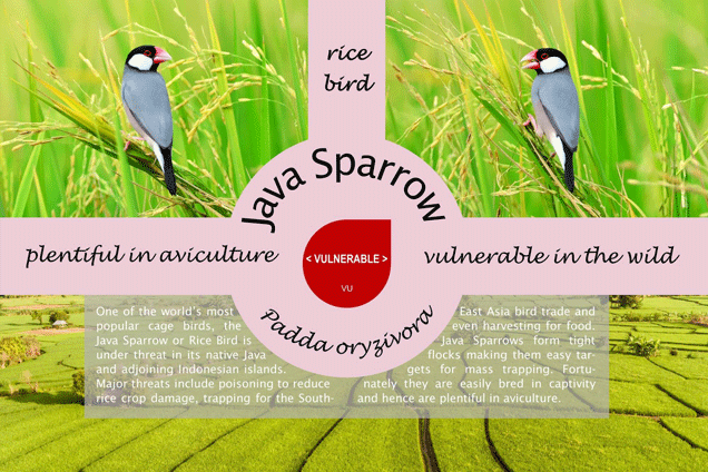 Threatened species the Java Sparrow (Lonchura oryzivora) -  vulnerable in the wild
