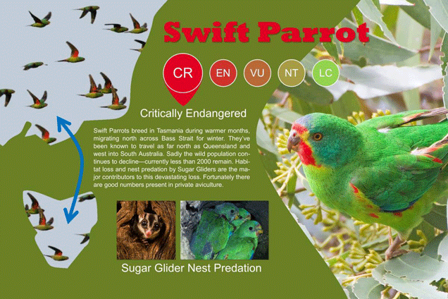 Threated species the Swift Parrot (Lathamus discolor)