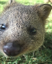 Quokka baby from the wildlife park