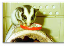 Jocelyn Hockley - little Striped possum. She was handed in as an orphan and I got to hand raise her