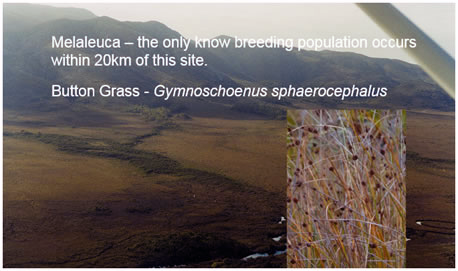 Melaleuca - the only known breeding population occurs within 20km of this site.  Button Grass (Gymnoschoenus sphaerocephalus)