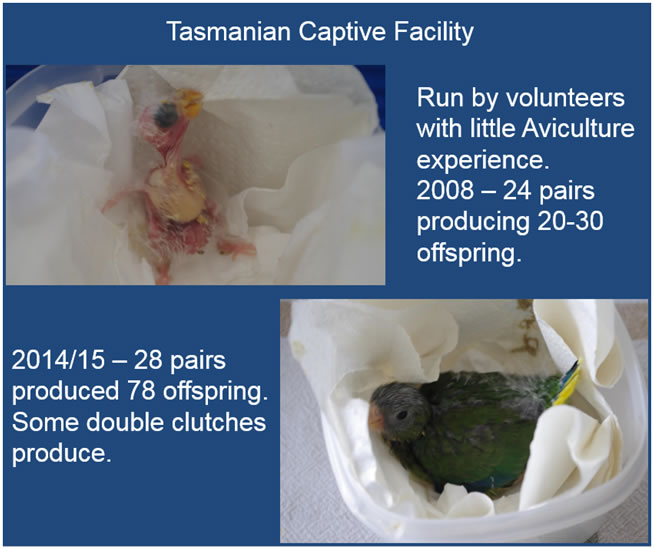Orange-belllied parrot Tasmanian Captive Facility: 2008 - 24 pairs producing 20-30 offspring.  2014/15 - 28 pairs produced 78 offstping. Siome double clutches produced.
