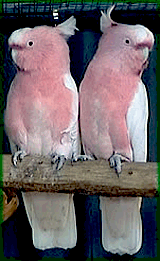 Major Mitchell Cockatoo (bonded pair)