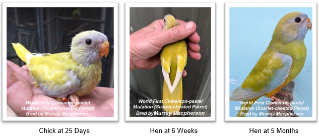World First Scarlet-chested Parrot Cinnamon-Pastel Mutation for Australia bred by Murray Macpherson