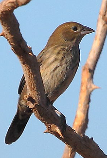 Jacarini Finch (Hen) - File courtesy of Wikimedia Commons, the free media repository
