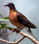 Mounted speciment of a Passenger Pigeon