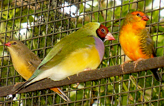Orange-breasted Waxbill - size compared to a Gouldina finch (hen bird)