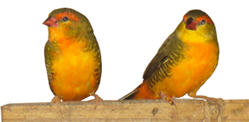 Oranged-breasted Waxbills (cock birds)