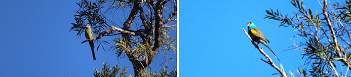Golden-shouldered parrots (hen on the left and the cock on the right)