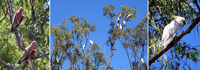 Galahs and Sulphur-crested cockatoos of Cape York