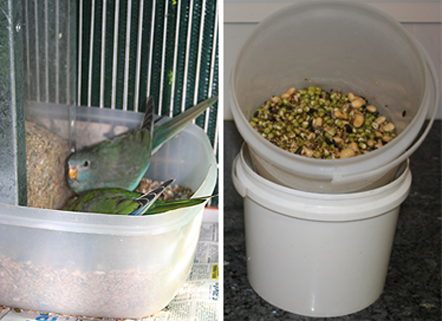 Scarlet-chested parrots feeding in seed bowl and sprouted seed