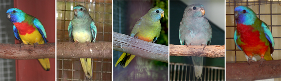 Scarlet-chested Parrot (Neophema splendida) and mutations