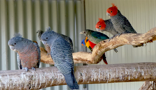 Gang Gangs, Lorikeets and Catbirds in a mixed aviary