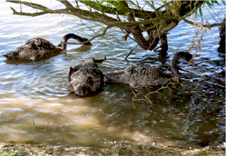 Young Black Swans on the edge of the dam under one of our overhanging Willow trees