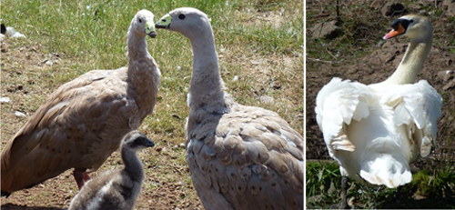 Cape Barren goose (Cereopsis novaehollandiae) and our White Swan (family Anatidae)