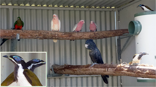 Blue-faced honeyeaters in a mixed collection of larger parrots