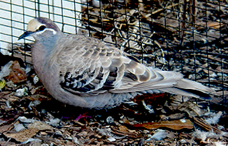 Fawn Mutation (Common Bronzewing)