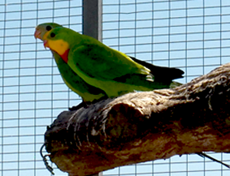 Superb parrot pair (Polytelis swainsonii)