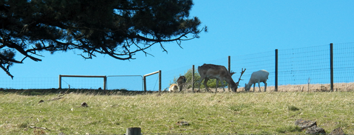 Fallow Deer on the hill at Taralga Sanctuary
