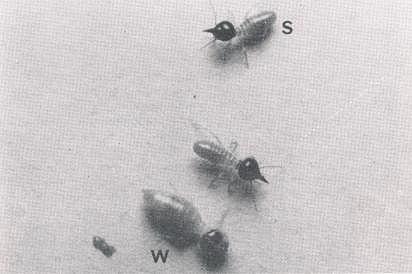 A Nsutitermes sp. worker (w) and soldiers (s).