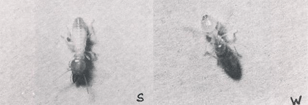 A Coptotermes sp. soldier (left photograph) and worker (right).