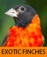 EXOTIC FINCHES (Photo courtesy of http://en.wikipedia.org/wiki/File:Cucullatamachocolombia.jpg)