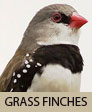 GRASS FINCHES Photo by JJ Harrison (jjharrison89@facebook.com)  (Courtesy of http://en.wikipedia.org/wiki/File:Stagonopleura_guttata_3.jpg)