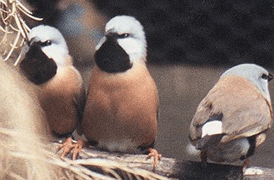 Black-Throated Grass Finch (Parson Finch) (Pheophila cincta)