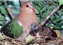 The Emerald Dove (Image from Jenny Brown's Husbandry Manual)