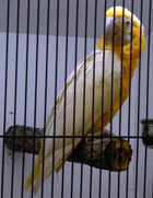 Lutino Blue and Gold Macaw